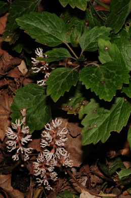 spikes: Pachysandra procumbens, Allegheny Spurge, Mountain Pachysandra