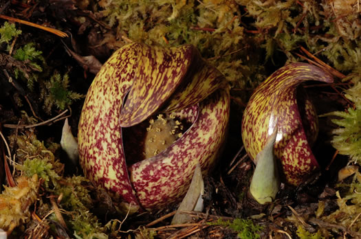 flower of Symplocarpus foetidus, Skunk Cabbage