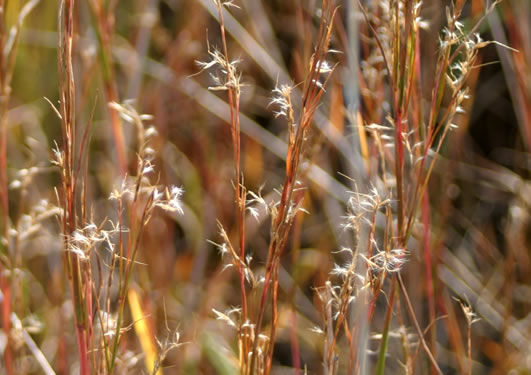sheath: Schizachyrium scoparium var. scoparium, Little Bluestem
