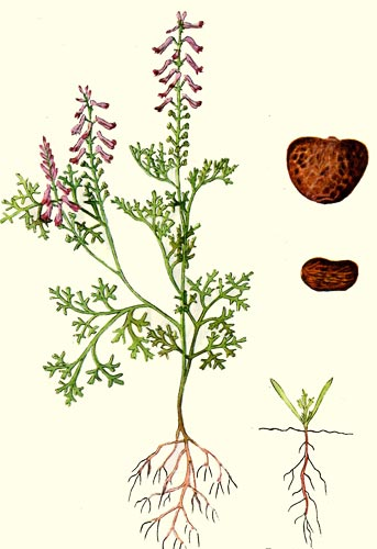 image of Fumaria officinalis, Fumitory, Earthsmoke
