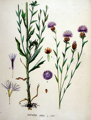 image of Centaurea jacea, Brown Knapweed