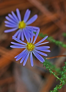 picture of Aster squarrosus, image of Symphyotrichum walteri