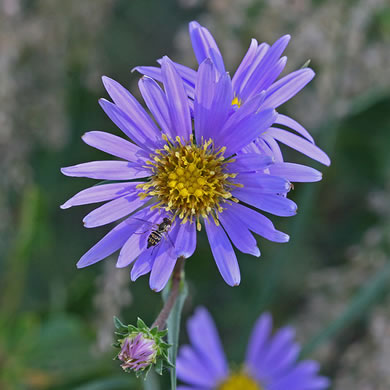 flower of Eurybia paludosa, Savannah Grass-leaved Aster, Southern Swamp Aster