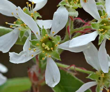 image of Amelanchier obovalis, Coastal Plain Serviceberry, Pocosin Shadbush
