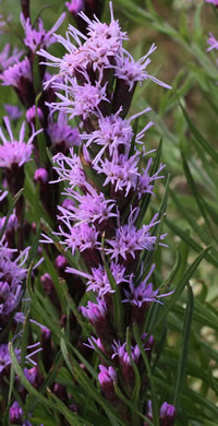 flower of Liatris helleri, Smooth Blazing-star, Heller's Blazing-star