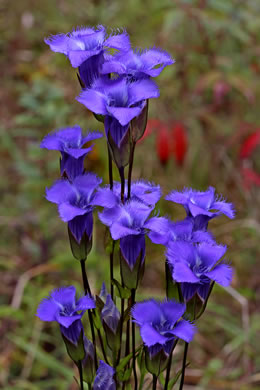 image of Gentianopsis crinita, Eastern Fringed Gentian, Greater Fringed Gentian