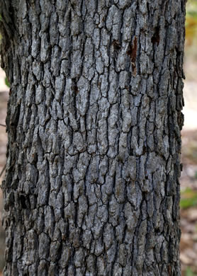 image of Quercus margarettae, Sand Post Oak, Scrub Post Oak