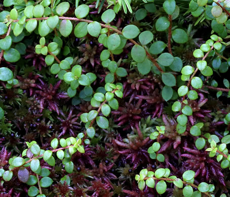 image of Gaultheria hispidula, Creeping Snowberry, Moxie