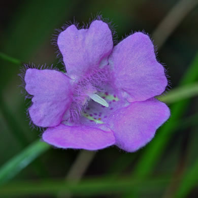flower of Agalinis setacea, Sandhills Gerardia, Threadleaf Gerardia, Threadleaf False Foxglove