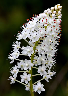 Crow-poison and Fly-poison: Stenanthium densum, Zigadenus densus, Zigadenus densus
