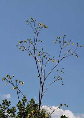 image of Silphium reniforme, Ragged Rosinweed, Kidneyleaf Rosinweed