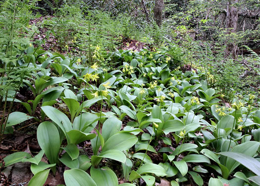image of Clintonia borealis, Bluebead-lily, Clinton's Lily, Yellow Clintonia, Yellow Bead Lily