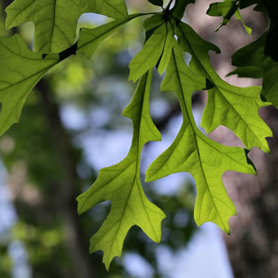 leaf or frond of Quercus lyrata, Overcup Oak, Swamp White Oak