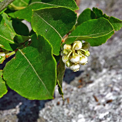 image of Lyonia ligustrina var. ligustrina, Northern Maleberry, He-huckleberry