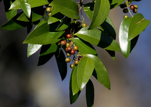 cuneate: Smilax smallii, Smilax smallii, Smilax smallii