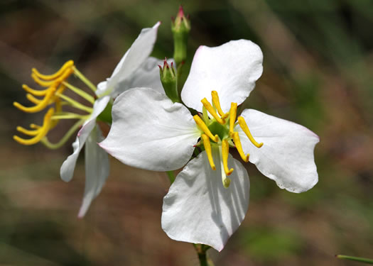 flower of Rhexia mariana var. exalbida, White Meadowbeauty