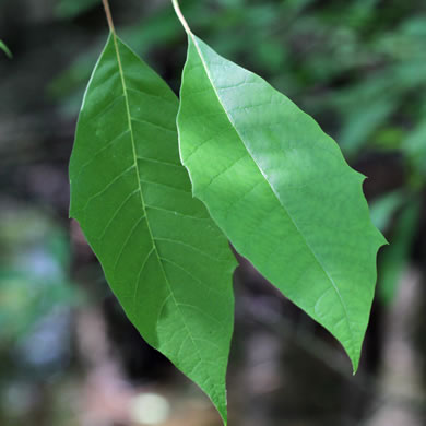 image of Nyssa aquatica, Water Tupelo, Cotton Gum, Tupelo Gum
