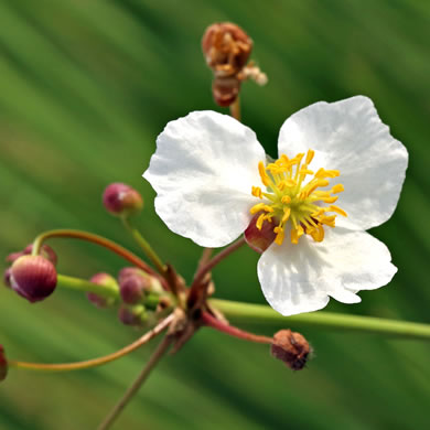 Sagittaria lancifolia var. media, Duck Potato