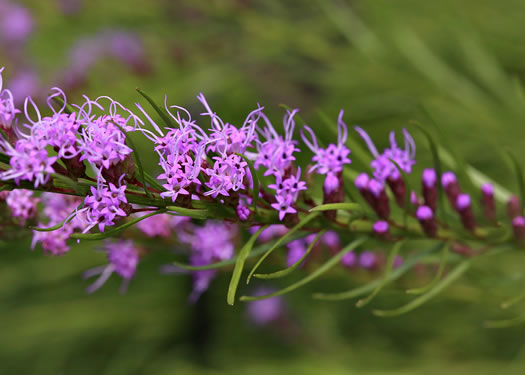 flower of Liatris microcephala, Narrow-leaf Blazing-star, Small-head Blazing-star