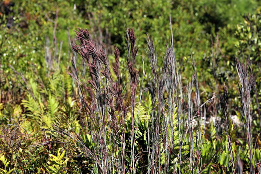 image of Andropogon glaucopsis, Big Chalky Bluestem, Coastal Bluestem, Purple Bluestem
