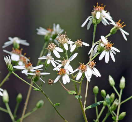 image of Doellingeria sericocarpoides, Pocosin Flat-topped Aster, Southern Whitetop, Streamhead Flat-topped Aster
