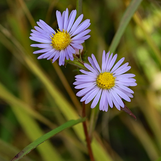 image of Eurybia paludosa, Savannah Grass-leaved Aster, Southern Swamp Aster