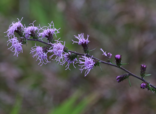 image of Liatris squarrulosa, Southern Blazing-star, Earle's Blazing-star
