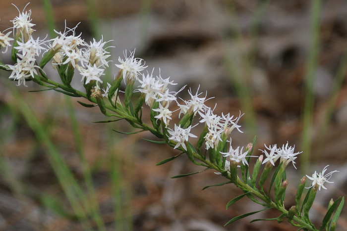image of Liatris secunda, Sandhills Blazing-star, One-sided Blazing-star, Lax Blazing-star