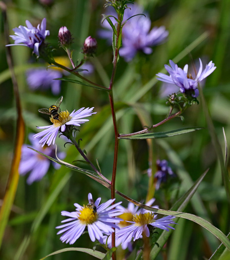 flower of Symphyotrichum novi-belgii var. elodes, New York Aster