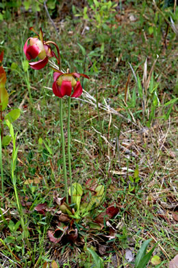 image of Sarracenia purpurea var. venosa, Southern Purple Pitcherplant, Frog's Breeches, Hunter's Cup
