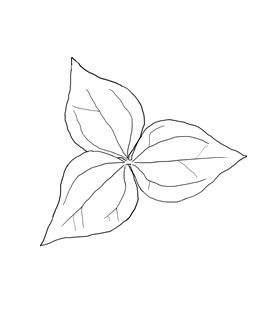 How To Draw White Trillium Flower Sketch Coloring Page