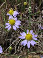 picture of Symphyotrichum rhiannon, image of -, photograph of -