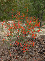 picture of Clinopodium coccineum, image of Clinopodium coccineum, photograph of -