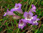 picture of Penstemon dissectus, image of Penstemon dissectus, photograph of -