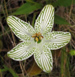 Bigleaf Grass-of-Parnassus