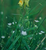 picture of Linaria vulgaris, image of Linaria vulgaris, photograph of Linaria vulgaris