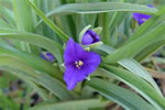 picture of Tradescantia ohiensis, image of Tradescantia ohiensis, photograph of Tradescantia ohiensis