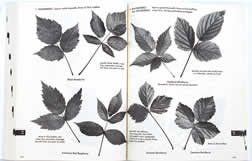 page from The Shrub Identification Book by George Symonds