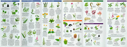 page from Edible Wild Plants Pocket Naturalist