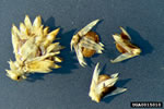picture of Alternanthera sessilis, image of Alternanthera sessilis, photograph of -