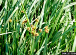 picture of Cyperus entrerianus, image of Cyperus entrerianus, photograph of -