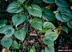 picture of Dioscorea bulbifera, image of Dioscorea bulbifera, photograph of -