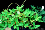 picture of Cuscuta japonica, image of Cuscuta japonica, photograph of -