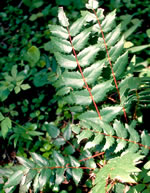 picture of Berberis nervosa, image of Mahonia nervosa, photograph of -