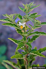 picture of Solanum pseudocapsicum, image of Solanum pseudocapsicum, photograph of -