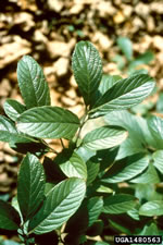 picture of Viburnum sieboldii, image of Viburnum sieboldii, photograph of -