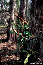 picture of -, image of Ficus thonningii, photograph of -
