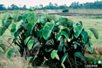 picture of Colocasia esculenta, image of Colocasia esculenta, photograph of -