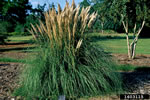 picture of Cortaderia selloana, image of Cortaderia selloana, photograph of Cortaderia selloana