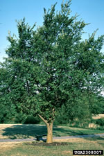 picture of Ulmus pumila, image of Ulmus pumila, photograph of -